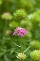 """Flower, Iberis Umbellata """"Rose Flash"""" - Flickr - nekonomania.jpg"""