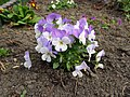 Flowers - (PL) Bratek (16994081619).jpg