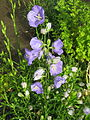 Flowers in SE Portland, Oregon in 2012 - 03.JPG