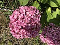 Flowers of Hydrangea macrophylla 20170701.jpg