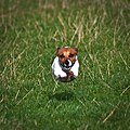 Flying Jack Russell Terrier.jpg