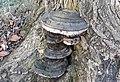 Fomes fomentarius (tinder fungus) (Newark, Ohio, USA) 1.jpg