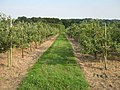 Footpath through an Orchard - geograph.org.uk - 1438029.jpg