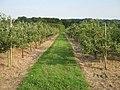 Footpath through an Orchard - geograph.org.uk - 1438029.jpg
