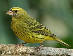 Forest Canary (Serinus scotops) facing left, side view.jpg