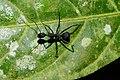 Formicidae 4173.jpg