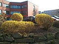 Forsythia, Technologiepark 11.3.14 - panoramio (2).jpg