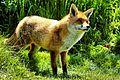 Fox (23328253555).jpg