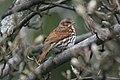 Fox Sparrow (Passerella iliaca iliaca) (2586887735).jpg