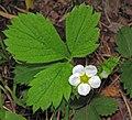 Fragaria vesca (woodland strawberry) (Gooseberry Falls State Park, Minnesota, USA) (22512293445).jpg