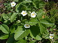 Fragaria vesca plants.jpg