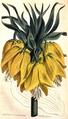Fritillaria imperialis CBM.png