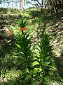 Fritillaria imperialis sl7.jpg