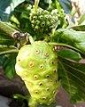 Fruits de noni au Bénin 04.jpg