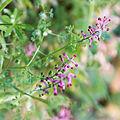 Fumaria officinalis-Fumeterre officinale-Fleurs-20150415.jpg