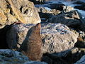 Fur seal on rocky shore.jpg
