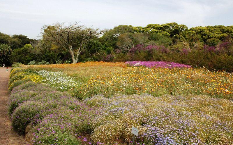 File:Fynbos indigenous flowers in Kirstenbosch gardens.jpg