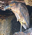 Galapagos yellow-crowned night heron 4.jpg