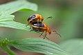 Galerucinae Oides sp mating on Kadavoor.jpg