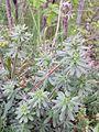 Galium pycnotrichum sl2.jpg