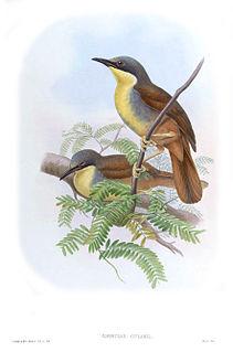 Rufous-vented laughingthrush species of bird