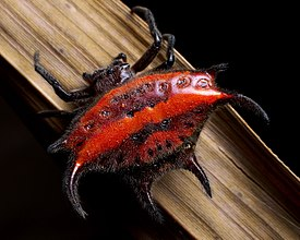 Gasteracantha falcicornis (red spiked orb weaver spider).jpg