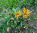 Gazania rigensTreasure Flower გაზანია.JPG