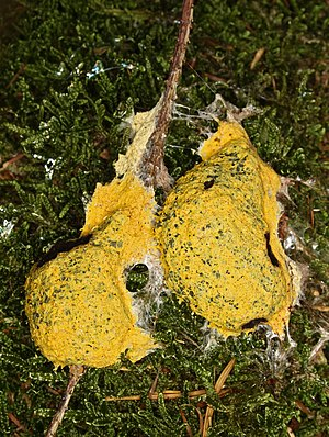 English: Dog Vomit Slime Mold or Scrambled Egg...