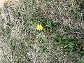 Gelbe.Blume.2227.JPG