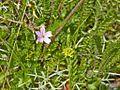 Geraniaceae sp.-CTJ-IMG 7139.jpg