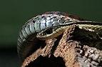 Gewöhnliche Strumpfbandnatter Thamnophis sirtalis.jpg