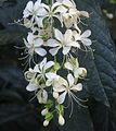 Gfp-clerodendrum.jpg