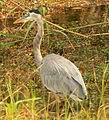 Gfp-great-blue-heron.jpg