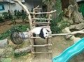 Giant Panda Conservation Centre in Zoo Negara Malaysia 2021 (3).jpg