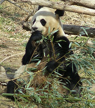 Panda diplomacy - Giant panda in the National Zoo in Washington D.C.