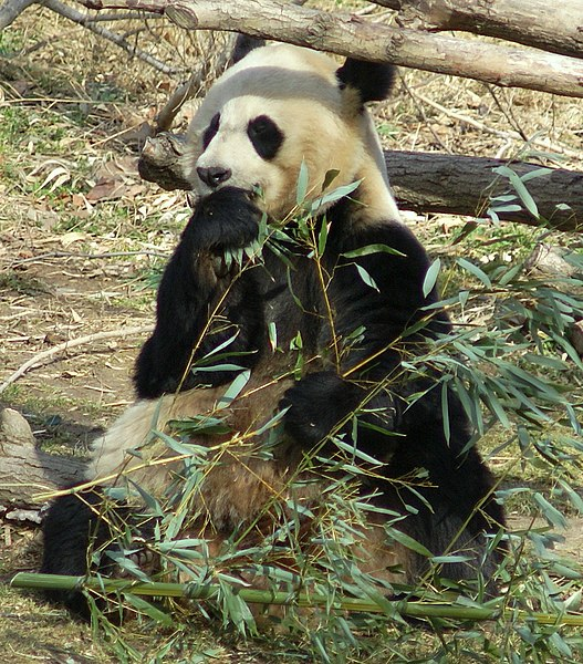 Mynd:Giant Panda Washington DC.JPG