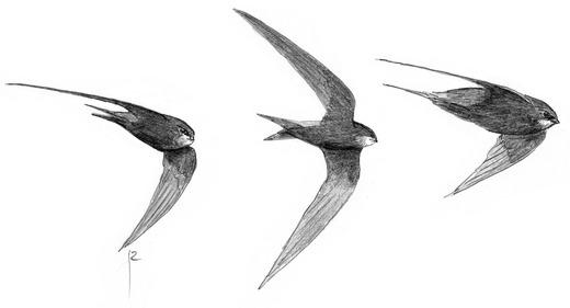 даже стриж картинки в хорошем качестве для печати выдает орла