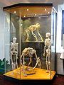 Gigantopithecus blacki, model - San Diego Museum of Man - DSC06889 02.JPG