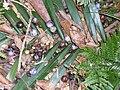 Gmelina leichhardtii fruit & Bangalow Palm - Royal National Park.JPG