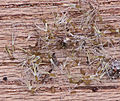 Gnaphalium uliginosum seeds, Moerasdroogbloem zaad.jpg