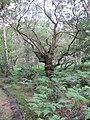 Gnarled Oak - geograph.org.uk - 2500998.jpg