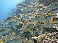 Gnathodentex aureolineatus Maldives 2.jpg