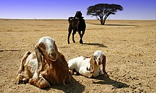 Goats in Southern Israel.jpg