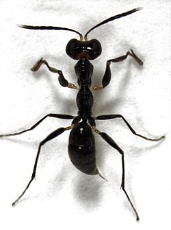 Gonatopus zealandicus Olmi, 1984.jpg