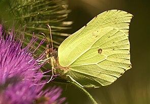 Zitronenfalter (Gonepteryx rhamni), ♂