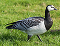 Goose (14980847060).jpg