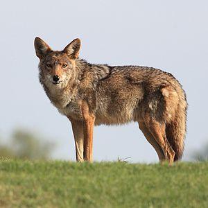 Mearns coyote - C. l. mearnsi in Mesa, Arizona