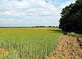 Grain field at Theydon Mount Essex England 03.JPG