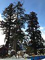 Grand trees of Minashi Shrine (Hida-Ichinomiya) in a snow day 2.jpg