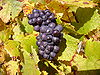 Pinot noir grapes near Sancerre